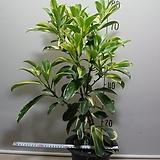 칼라워터쟈스민10번-물을좋아하는 향기좋은 나무-동일품배송|