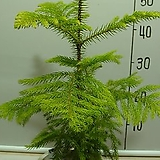 알로카리아1번-삼나무과중 유일실내식물-뉴질렌드공기정화1위-동일품배송|