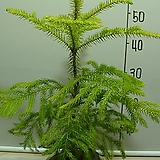 알로카리아2번-삼나무과중 유일실내식물-뉴질렌드공기정화1위-동일품배송|