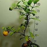 오렌지-레몬?1번-일년내내 꽃피고 열매달고-맛나요-동일품배송|