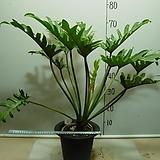킹셀럼 킹셀륨 6번-높이 약75센치-실내식물-동일품배송|