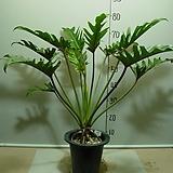 킹셀럼 킹셀륨 7번-높이 약80센치-실내식물-동일품배송|