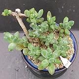 6천대전송합식ㆍ화분포함|Pachyphytum compactum