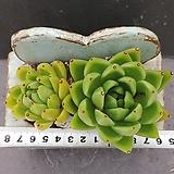 6왁스 ㆍ화분포함|Echeveria agavoides Wax