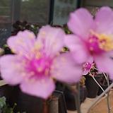 시스단드 그랜드플로라 |Echeveria Poltava (grandiflora)