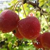 애기사과나무-두꺼운분재형식용 