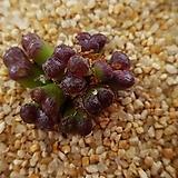 코노피튬 펠루시덤 씨앗 5립 (마킨스플럼 씨앗 CS017) Conophytum