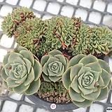 환엽 롱기시마 철화 묵은둥이 군생_p97|Echeveria longissima