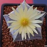 온즈카난봉옥|Astrophytum myriostigma cv. ONZUKA