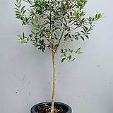 스페인 아르베키나 올리브나무/ 동일품배송/ 높이 115 너비 65|