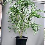 삼각잎 아카시아 특대품/ 동일품배송/ 높이 165 너비 115|