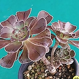 46달마법사|Eonium arboreum var. rubrolineatum