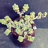 6벽어연한몸ㆍ화분포함|Corpuscularia lehmanni