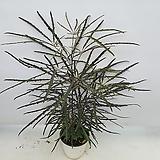 몬스테라 아단소니 오블리쿠아 특급