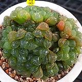 자옵투사|Haworthia var. obtusa(purple)