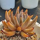 웅구아쿨라타 2 Echeveria unguiculata
