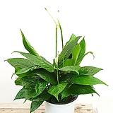 짱짱한 향스파트필름 스파트필름 공기정화식물 실내식물 음지식물 수경재배|