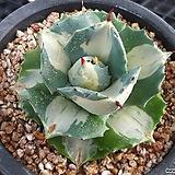 왕비뇌신금|Agave potatoum(scolymum)