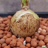 콘코르디아나 멋쟁이아프리카식물입니다  가격많이착해졌어요  73|