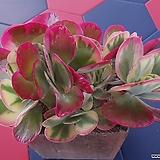 당인금-대|Kalanchoe thysifolia