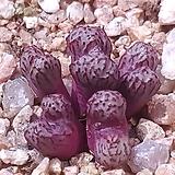 C.luckhoffii turrigerum form 뤀호피트리게룸 최상급|