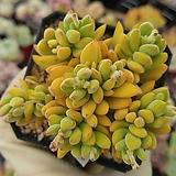 티타놉시스01 Crassula ausensis v titanopsis