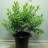 폴리가라-불새꽃 특대품 4번-벌새를 닮은꽃-남아프리카원산-높이60센치 동일품배송|