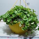 스웨이디쉬아이비 1번-꽃피는아이비-단풍이매혹적-광채나는잎-검색해보세요-동일품배송|
