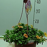선그로벨1번-피고지고 년중꽃보아요-반그늘이상 잘 자람-동일품배송|