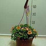 선그로벨2번-피고지고 년중꽃보아요-반그늘이상 잘 자람-동일품배송|