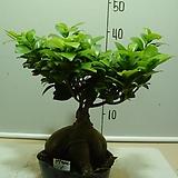 인삼펜다1번-대품-실내식물-동일품배송|