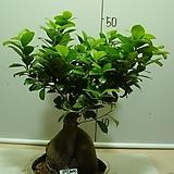 인삼펜다2번-대품-실내식물-동일품배송|