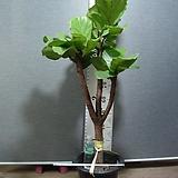 떡갈고무나무 대품4번-여름을시원하게-실내식물-동일품배송|