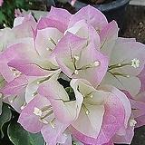신종부겐베리아-핑크엔젤  