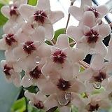 꽃피는호야-초코렛향기풍성한대품 