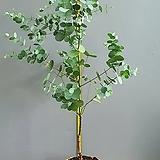 미세먼지 정화식물 유칼립투스, 높이 105cm 전후