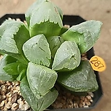 피그마에아 뮤던트 07091|Haworthia pygmaea