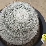중품 희망환선인장07098|Mammillaria albilanata Backeb