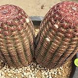 자태양 선인장07098|Echinocereus rigidissimus Purpleus