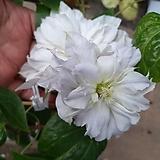 신종으아리앙뜨와네뜨겹꽃클레마티스 -보호종 대품   