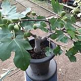 무화과나무-오래키운분재형 