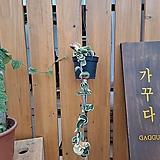 트위스트호야(무늬종) 