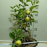 사과나무22번-국광-주먹크기로 커짐-분재수형-가을까지 주렁주렁-동일품배송|