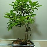 사과나무24번-국광-주먹크기로 커짐-분재수형-가을까지 주렁주렁-동일품배송|
