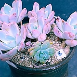 6오팔리나합식 ㆍ화분포함|Graptoveria Opalina