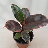 루비수채화고무나무|