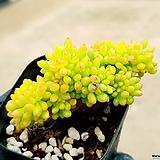 팔천대철화 36-497|Sedum corynephyllum