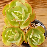 둥근잎비취후리데|Echeveria Peach Pride