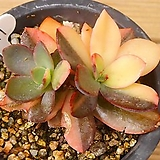꽃뗏목금|Echeveria cv. hanaikada