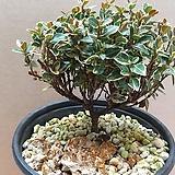 무늬둥근잎 마삭[외목대 분재용 ]|
